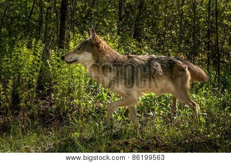 Grey Wolf (canis Lupus) Walks Left