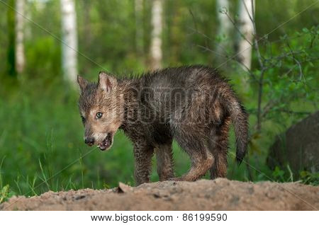 Black Wolf (canis Lupus) Pup With Dirty Nose
