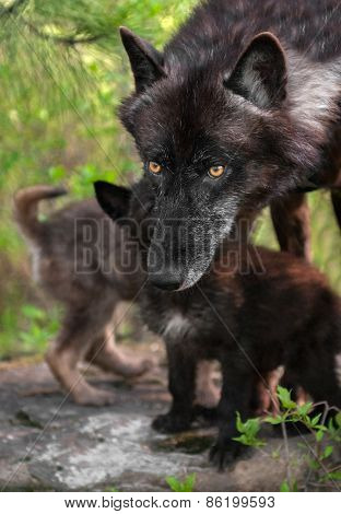 Black Wolf (canis Lupus) In Front Of Pups