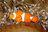 stock photo of clowns  - Clown Anemonefish Amphiprion percula swimming among the tentacles of its anemone home - JPG