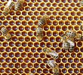 stock photo of working animal  - honey comb and a bee working  - JPG