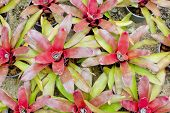 foto of bromeliad  - Closeup beautiful Red Bromeliads on nature background - JPG