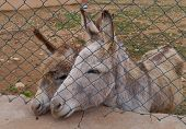 picture of donkey  - Donkeys in a paddock on the island Fuerteventura one of the Canary island in the Atlantic Ocean belonging to Spain - JPG