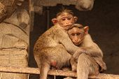 picture of baby-monkey  - Monkey mom and baby, embrace of mother and baby ** Note: Soft Focus at 100%, best at smaller sizes - JPG