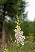 stock photo of digitalis  - Beautiful Foxglove flower in the forest in summertime - JPG