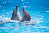 picture of bottlenose dolphin  - pair of dolphins dancing in water poll - JPG
