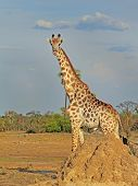 image of termite  - Isolated giraffe standing behind a termite mound with blue African sky and bush in the distance - JPG
