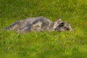 stock photo of schnauzer  - Silver standart  schnauzer dog lay on green grass - JPG