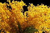 image of mimosa  - Beautiful sprigs of mimosa close up - JPG
