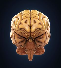 pic of frontal lobe  - Human Brain Anatomy Illustration  - JPG