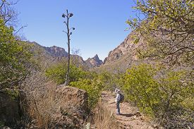 pic of century plant  - Hiker looking at the remains of a century plant stalk in Big Bend National Park in Texas - JPG