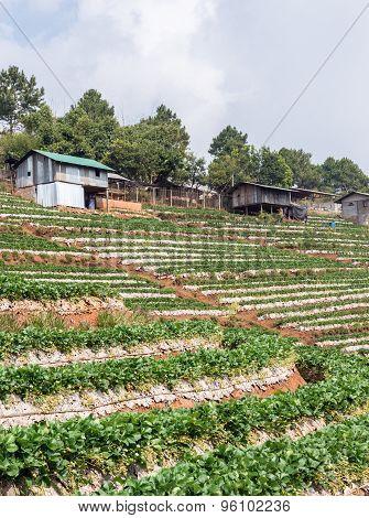 Strawberry Farm With Planter House