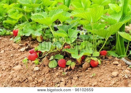 some ripe strawberries in the plant, in an organic orchard