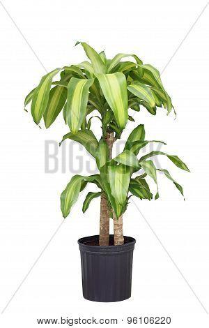 Dracaena Fragrans Plant