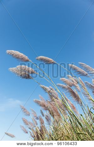 Cane  With Long Narrow Leaves