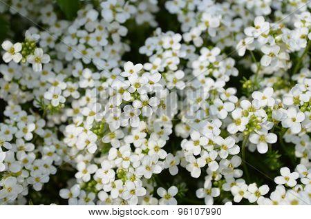 Lobularia white