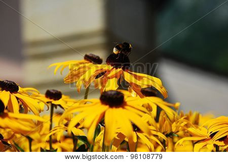 Bee On Rudbeckia Flowers