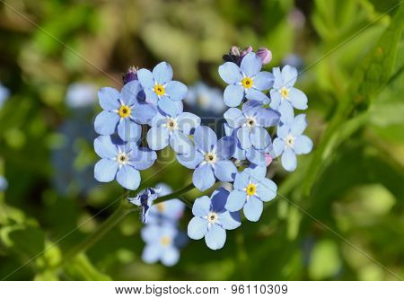 Blue forget-me-not flower