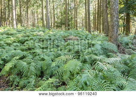 Fern covering ground