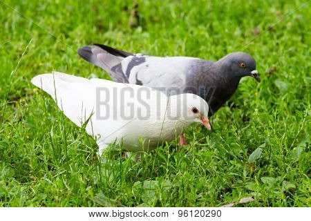 White Pigeon Standing On Green Grass