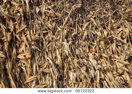 Close up of corn stalks.
