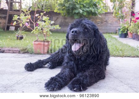 Portrait Of An Old Black Dog In The Backyard