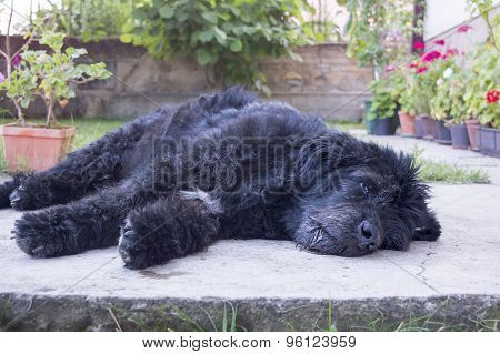 Portrait Of An Old And Tired Black Dog Lying In The Backyard