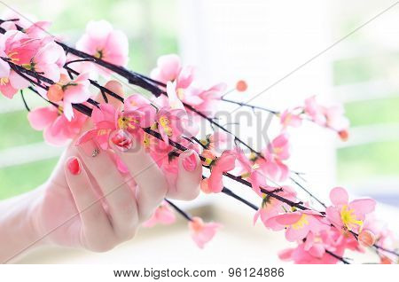Cherry tree branch in a woman hand with a tender pink manicure