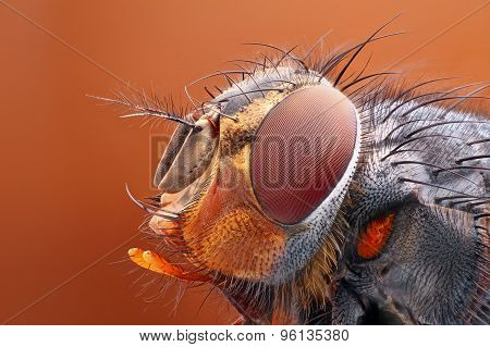 Very sharp and detailed study of Fly head stacked from many images into one very sharp photo