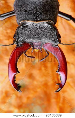 Detailed photo of Stag beetle (Lucanus cervus)