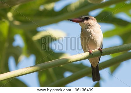 Striped Kingfisher (halcyon Chelicuti) Perched On A Papaya Branch