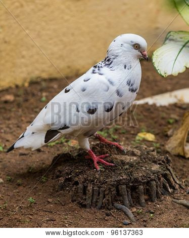 white pigeon on flowering background
