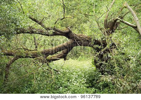 Broken Willow