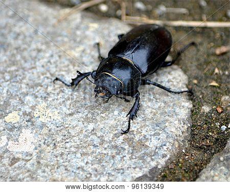 Beetle - Stag