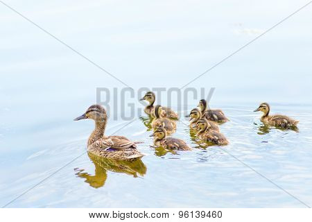 Female Duck And Ducklings On The River