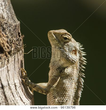 Portrait Of Oriental Garden Lizard In Pottuvil, Sri Lanka