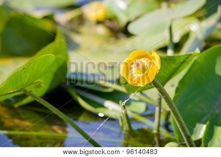 Nuphar Lutea Flower