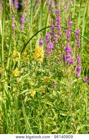 Lysimachia Vulgaris And Lythrum Salicaria