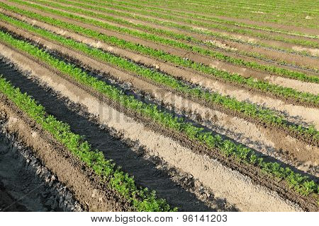 Agriculture, Carrot Plant In Field