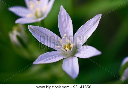 Star Of Bethlehem Flower Closeup