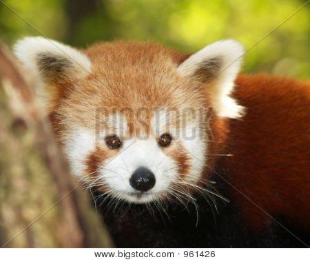 A Small Panda (Firefox) In Bronx Zoo