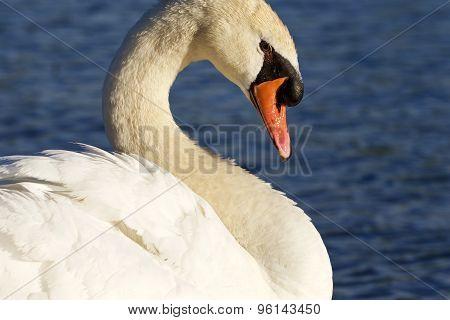 Noble Swan