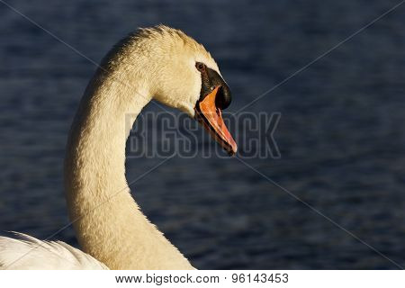 Beautiful Portrait Of The Swan On The Sunny Evening