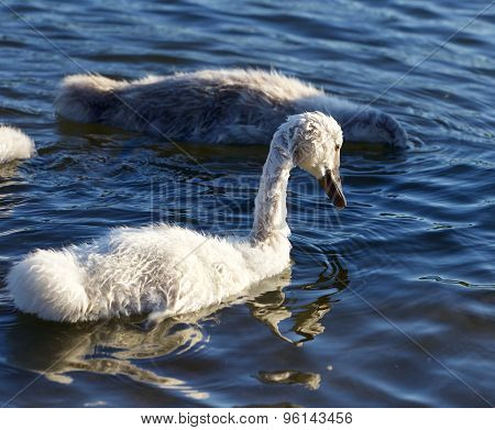 Funny Young Swan Is Swimming