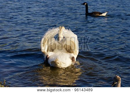 The Swan Is Trying To Attack