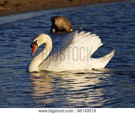 The Beautiful Mute Swan On The Sunny Evening