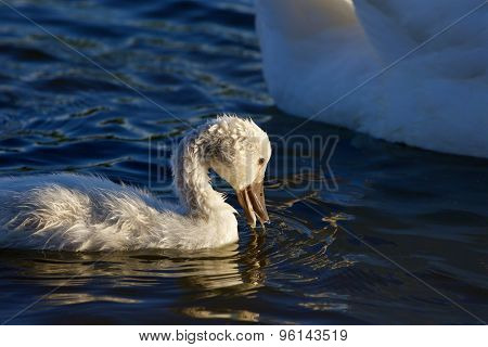 The Funny Young Chick Is Drinking The Water