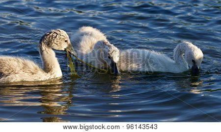 Funny Young Swans Are Trying To Divide The Algae