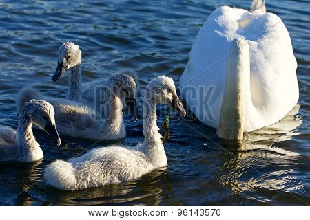 Beautiful Young Swans Are Swimming With Their Parents