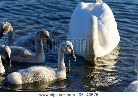 The Young Swans Are Eating The Algae